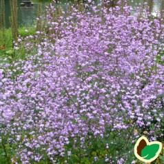 Thalictrum delavayi Splendide - Violfrøstjerne