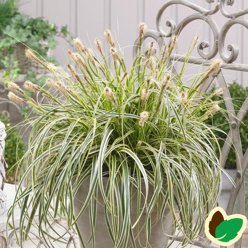 Carex hybrid Feather Falls / Japansk Star