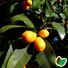 Klementin x Kumquat - Citrusfrugter