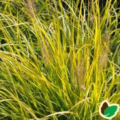 Pennisetum alopecuroides J. S. Jommenik - Lampepudsergræs