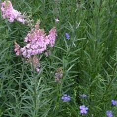 Linaria purpurea Canon J Went / Torskemund