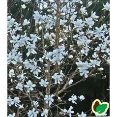 Magnolia loebneri Merrill - Stjernemagnolia