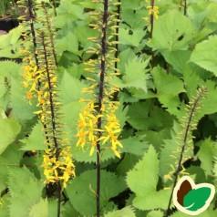 Ligularia wilsoniana / Nøkketunge