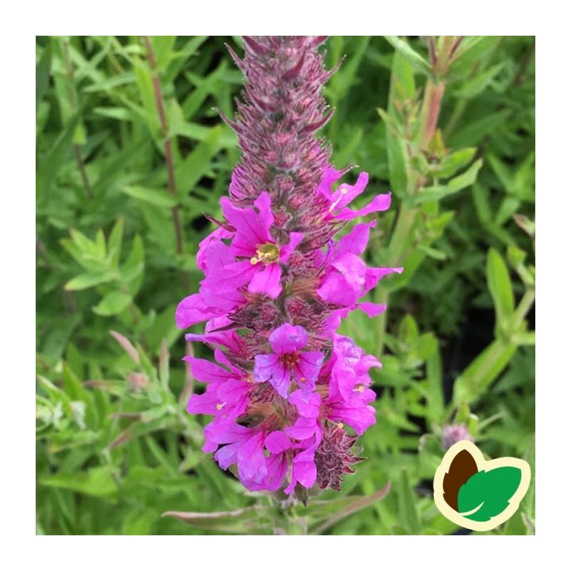 Lythrum virgatum Rosy Gem / Kattehale