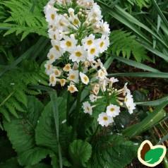 Primula japonica Alba / Etageprimula