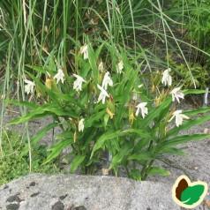 Roscoea cautleoides / Falsk Orkide