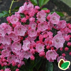 Kalmia latifolia Little Linda