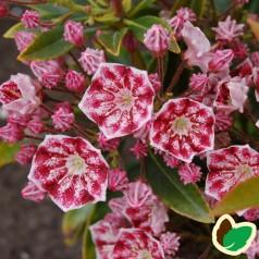 Kalmia latifolia Pinwheel