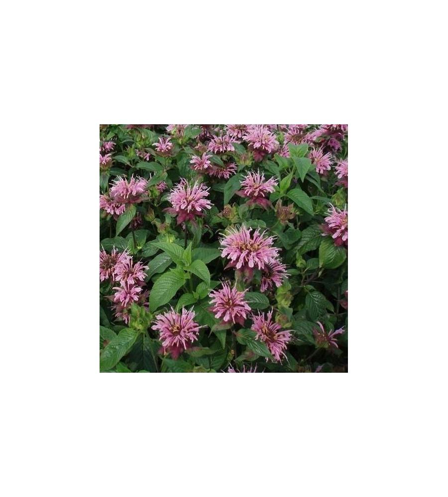 Monarda hybrid Croftway Pink / Hestemynte