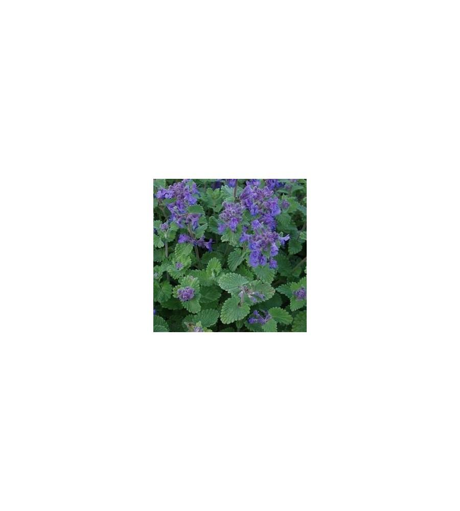 Nepeta faassenii Blue Wonder / Katteurt