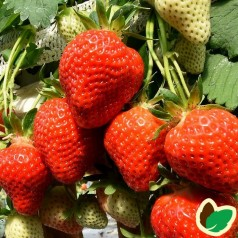 Jordbærplanter Darselect - Tidlig