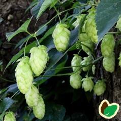 Humulus lupulus Carlsberg - Humle - Hun plante