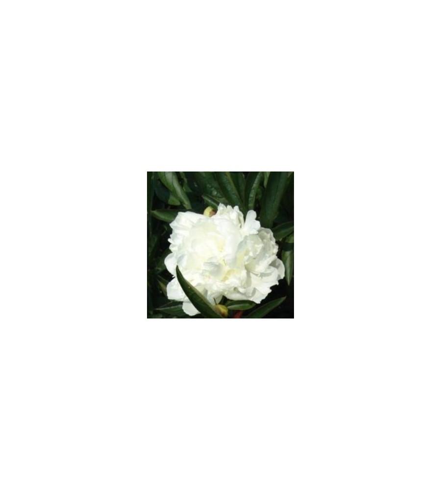 Paeonia lactiflora Duchesse De Nemours / Silkepæon