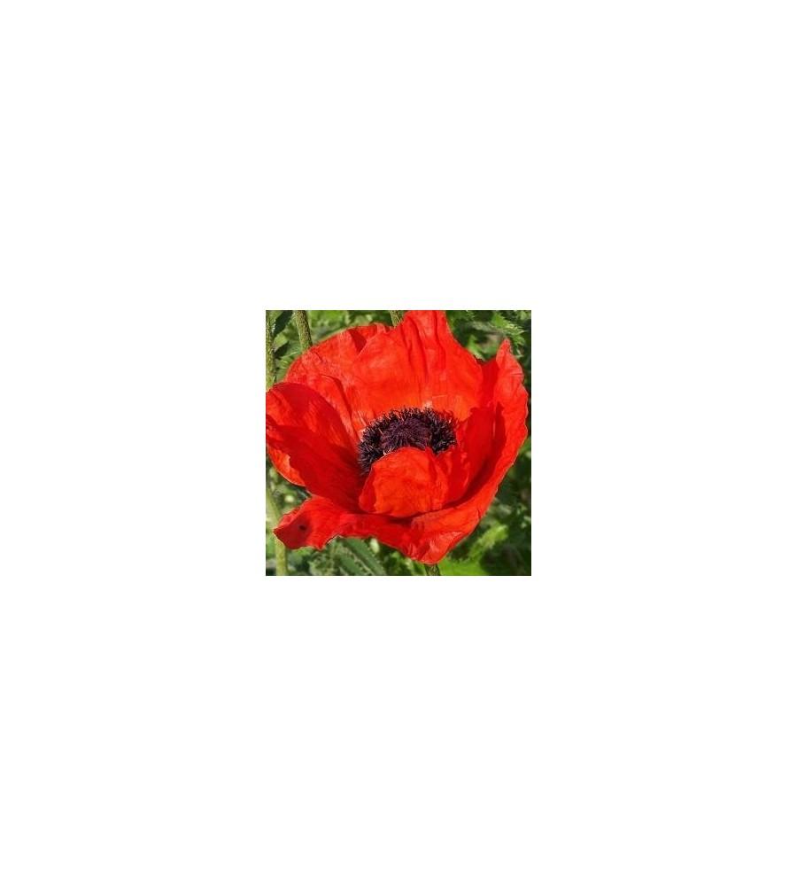Papaver orientale Beauty Of Livermere / Kæmpevalmue