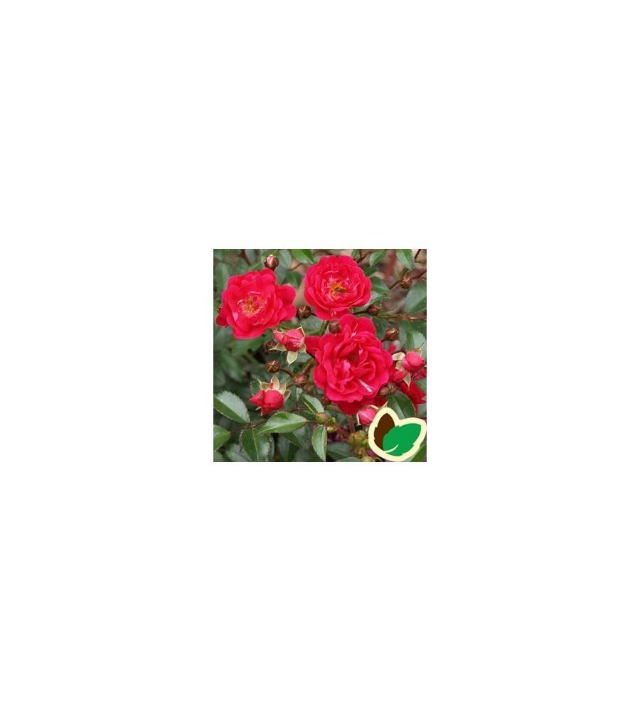 Kendte Rose Red the Fairy - Buketrose MV-46