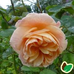 Rose Charles Austin - Engelsk Rose / Barrods