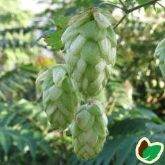 Humulus lupulus Diva - Humle - Hun plante