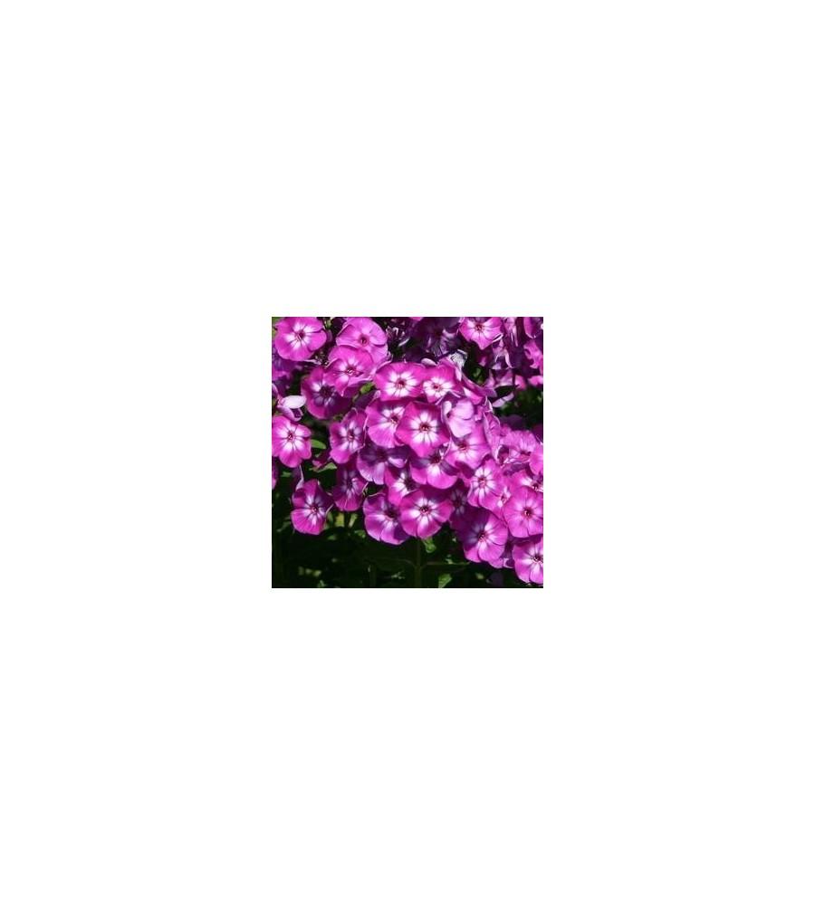 Phlox paniculata Laura / Høstfloks