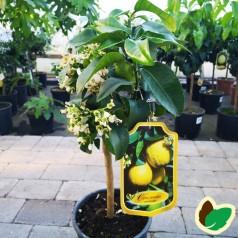 Grapetræ - Paradisi Ornamentale