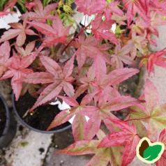 Acer palmatum Beni Shichi Henge
