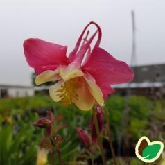 Aquilegia caerulea Crimson Star / Akeleje
