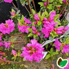 Rhododendron Geisha Purple