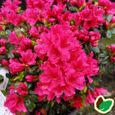 Rhododendron Geisha Red