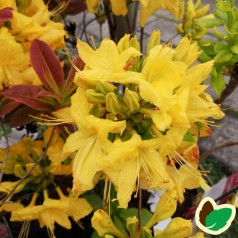 Rhododendron knaphill Anneke