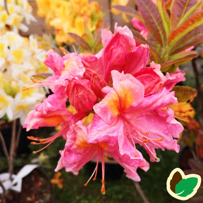 Rhododendron knaphill Berryrose