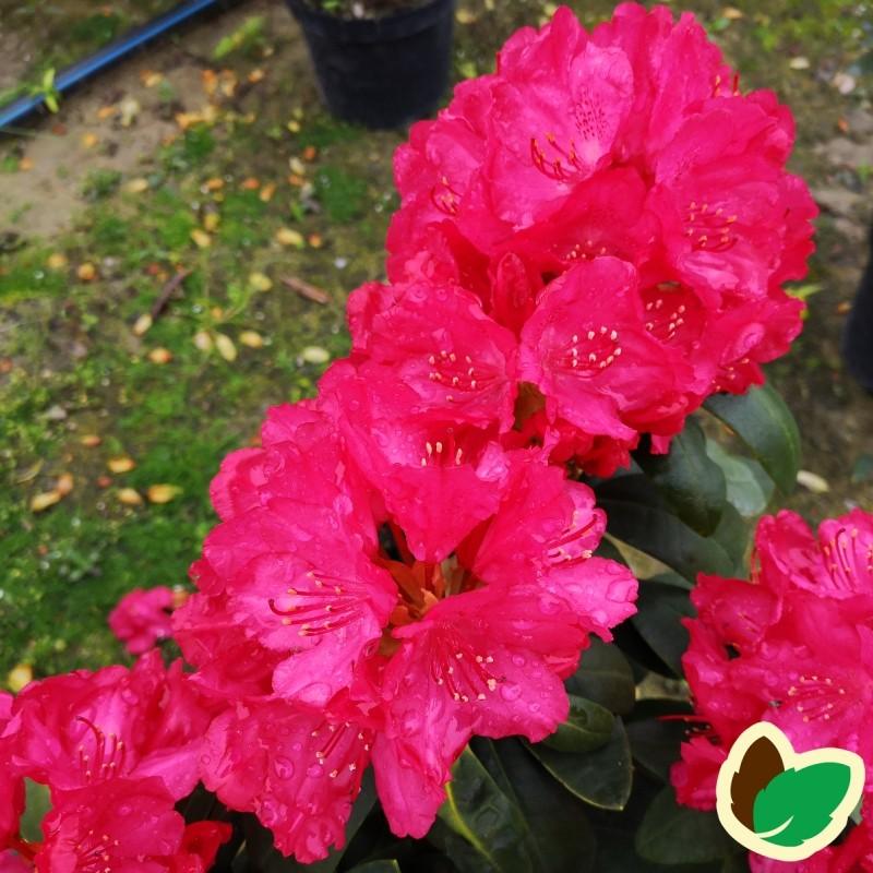 Rhododendron Yakushimanum Astrid