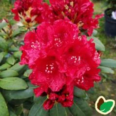 Rhododendron hybrid Erato