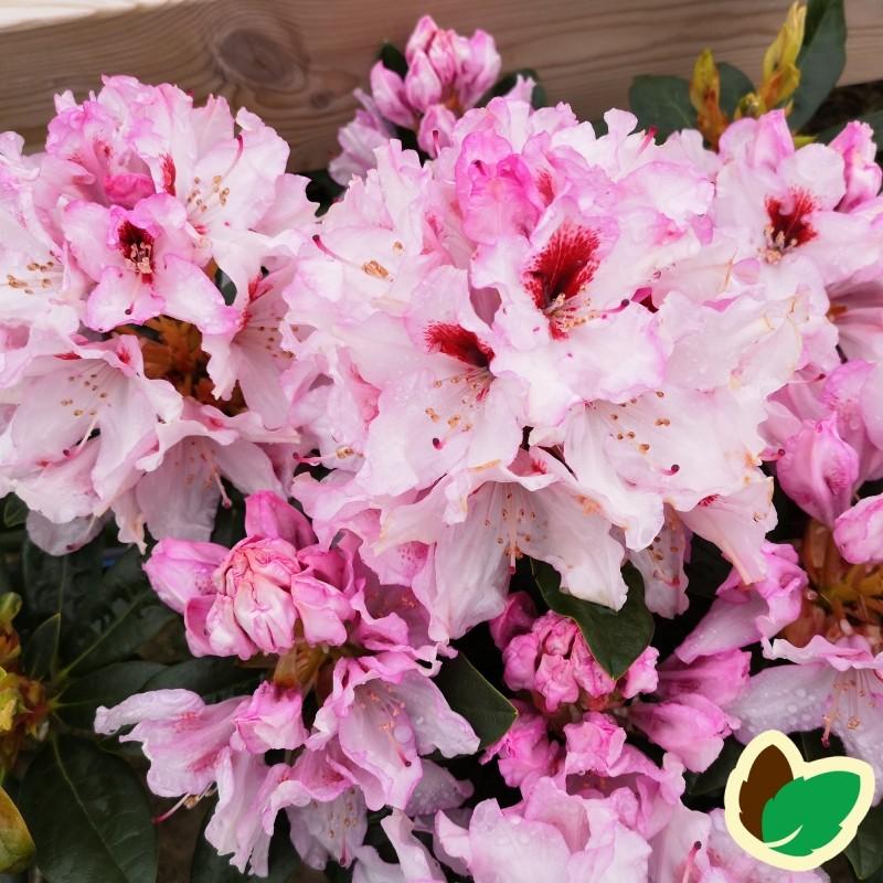 Rhododendron hybrid Graffito