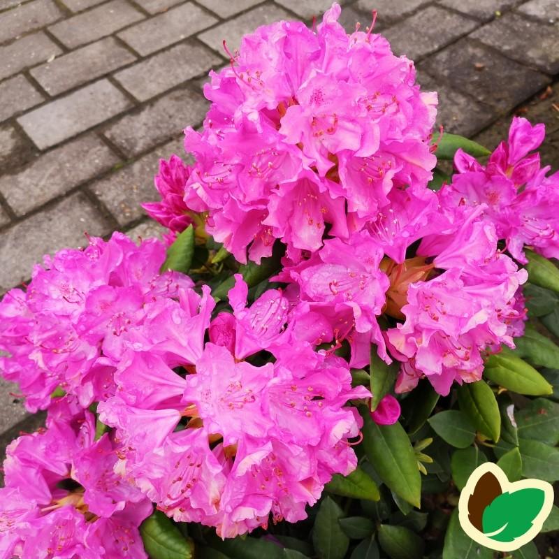 Rhododendron hybrid Roseum Elegans