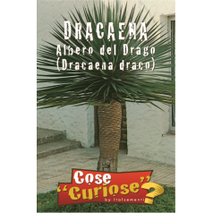Drageblodstræ Frø - Dracaena draco