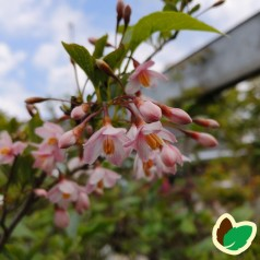 Styrax japonica Pink Chimes