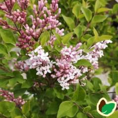 Syringa meyeri Flowerfesta White