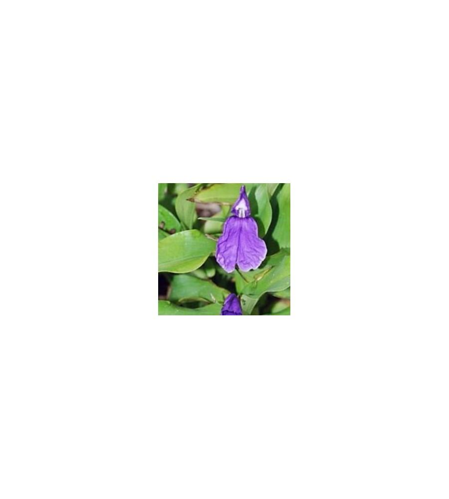 Roscoea auriculata / Falsk Orkide