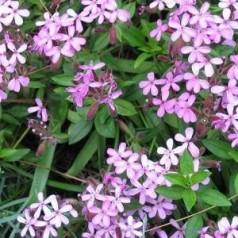 Saponaria ocymoides / Sæbeurt