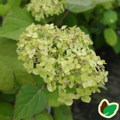 Hydrangea arborescens Lime Rickey - Træagtig Hortensia