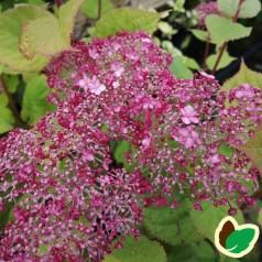 Hydrangea arborescens Sweet Annabelle - Træagtig Hortensia