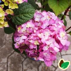 Hydrangea macrophylla Bloom Star - Hortensia Endless Summer Rosa/Lilla