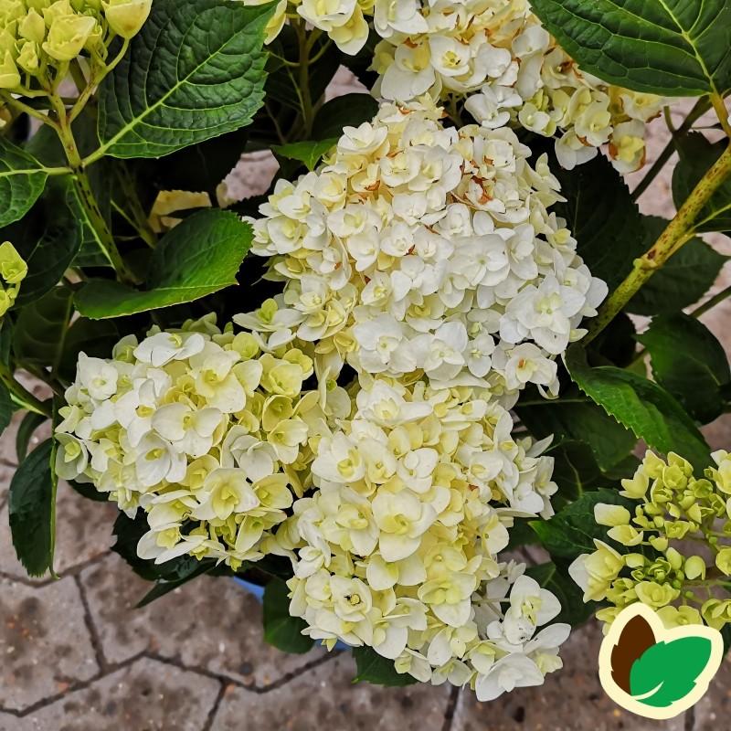 Hydrangea macrophylla The Bride - Hortensia Endless Summer Hvid