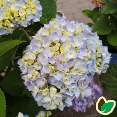 Hydrangea macrophylla The Original - Hortensia Endless Summer Rosa/Blå