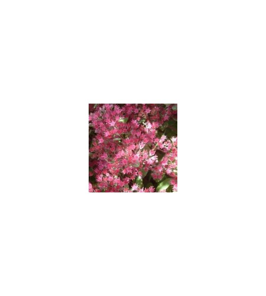 Sedum cauticola / Stenurt
