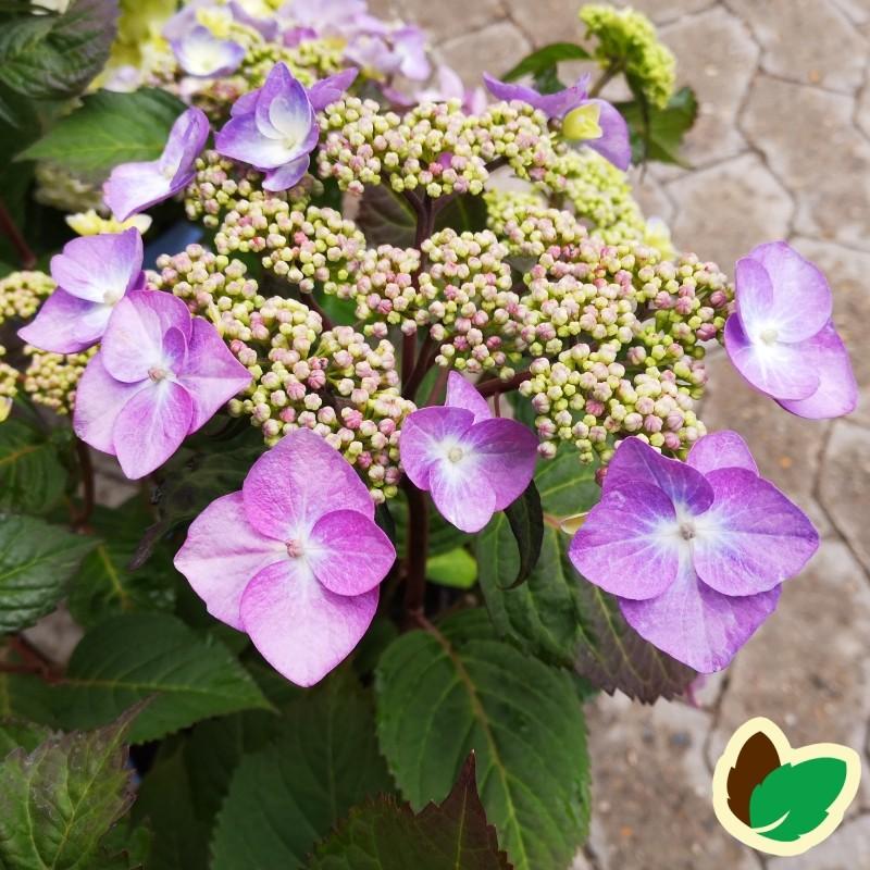 Hydrangea macrophylla Twist and Shout - Hortensia Endless Summer Rosa/Lillablå