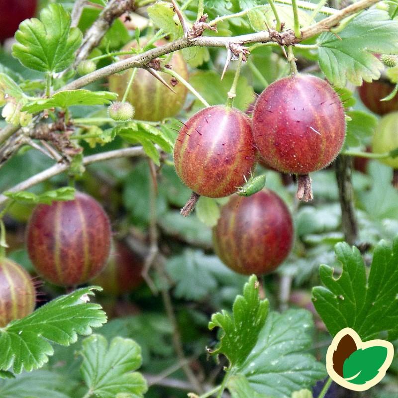 Stikkelsbærbusk Achilles