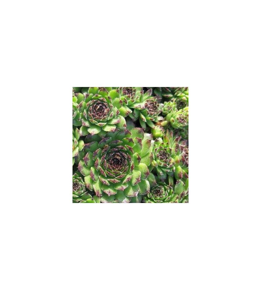Sempervivum hybrid Reinhard / Husløg
