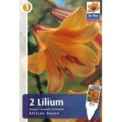 Liljeløg African Queen / Lilium - 2 løg