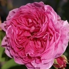 Rose Heroïne de Vaucluse - Historisk Rose