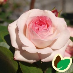 Rose Maxima / Klatrerose